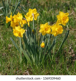 Yellow daffodils or Narcissi, spring flowers, Narcissus pseudonarcissus