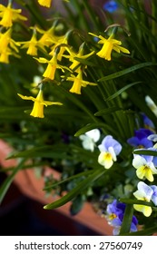 Yellow daffodils (Narcissus pseudonarcissus) and blue and purple pansy violets (Viola tricolor hortensis) grow in a window box.