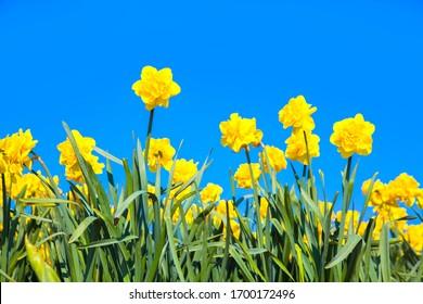 Gelbe Narzissen auf blauem Frühlingshimmel. Heller Frühling, floraler Osterhintergrund.