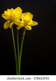Yellow daffodils on black, portrait orientation