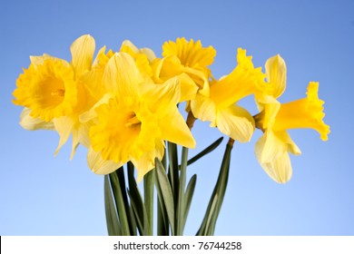 Yellow daffodils on blue background