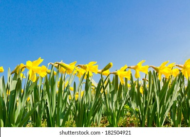 Yellow daffodils on clear, blue sky