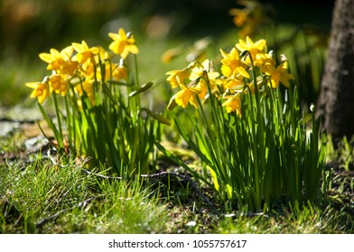 Yellow daffodils on a sunny spring day in Dublin parks
