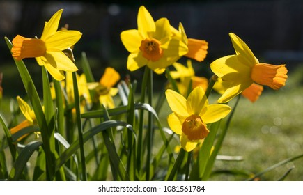 yellow daffodils in spring