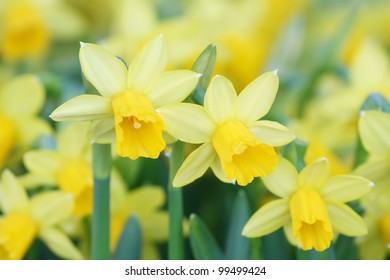 yellow daffodils in the spring. Shallow depth of field--selective focus on foreground