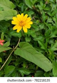 Yellow Dahlberg Daisy or Golden Fleece.