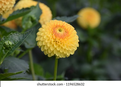Yellow Dahlia Blooming
