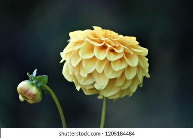 yellow dahlia flower and bud