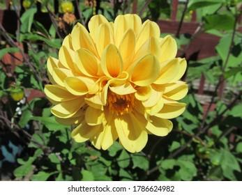 Yellow dahlia flower, growing in english garden.