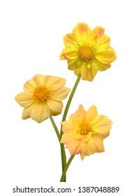 yellow Dahlia flower isolated on white background