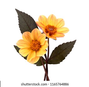Yellow dahlia flower with leaves isolated on white background
