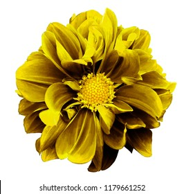 Yellow dahlia. Flower on a white  isolated background with clipping path.  For design.  Closeup.  Nature.