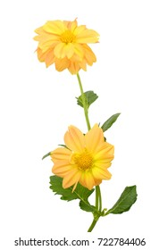 yellow Dahlia flowers isolated on white background