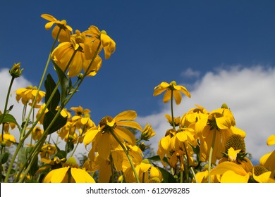 Yellow daisies against a blue sky