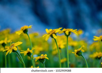Yellow daisies among high mountains in Idaho
