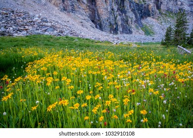 Yellow daisies among high mountains in Idaho