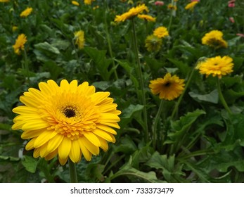 a yellow daisies in the garden in the evening
