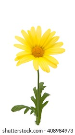 yellow daisies isolated on white background...