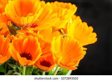 Yellow daisies over black background, horizontal image