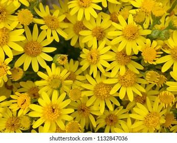 Yellow daisies, Seaton Carew Sand Dunes, Hartlepool, England