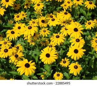 the yellow daisies in spring time