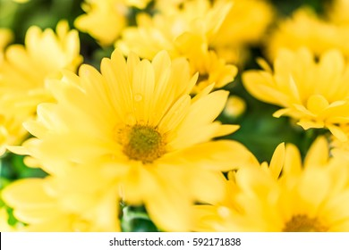 Yellow daisy bouquet macro closeup