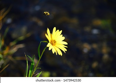 Yellow daisy and bumble bee with blurred dark background.