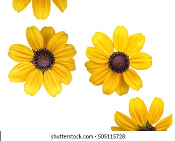 Yellow daisy closeup, big flower macro isolated on white background, without a shadow.