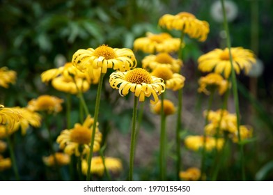 Yellow daisy doronicum asteraceae flowers in the spring garden, background