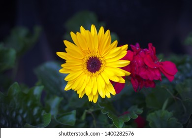 yellow daisy flower floral garden daisies dark background