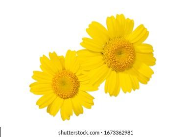 Yellow daisy flower isolated on white background. Glebionis segetum