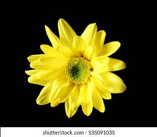 Yellow daisy flower on black background