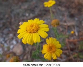 Yellow daisy flowers. Flowers of calendula arvensis