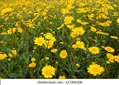 yellow daisy flowers field background