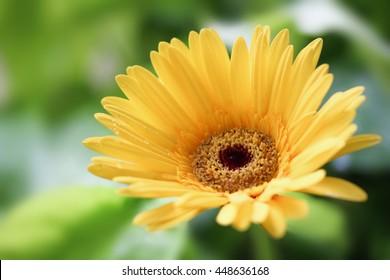 yellow daisy gerbera flower in garden.