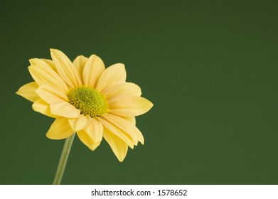 Yellow daisy green background