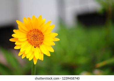 Yellow daisy known as Asteraceaem or Compositae aka aster daisy composite or sunflower family flowering plant Angiospermae. Garden flower found in local neighbors yard with white fence as bokeh effect
