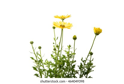 yellow daisy leaves with white background