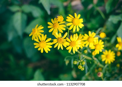 Yellow, daisy like wild flowers
