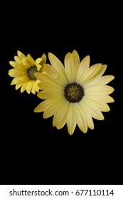 Yellow Daisy on Black