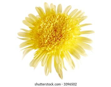 yellow daisy under soft light