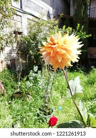 A yellow dalia, the national flower of Mexico