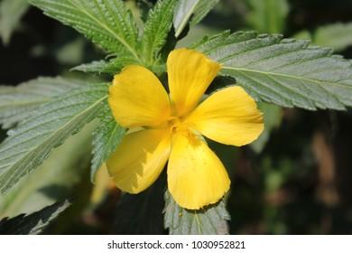 yellow damiana flower