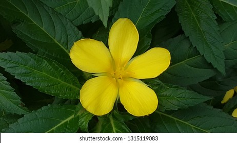 yellow damiana flower
