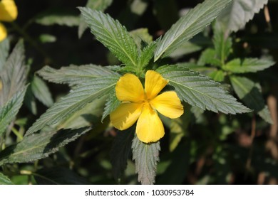 yellow damiana flower with green leaves