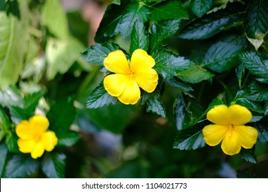 yellow damiana flowers.