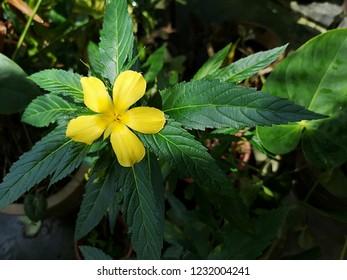 Yellow Damiana Flowers