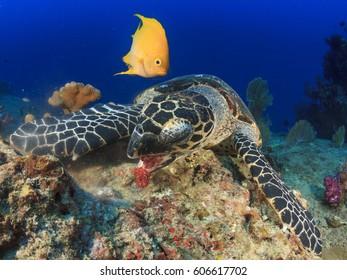 Yellow Damselfish and Hawksbill Sea Turtle