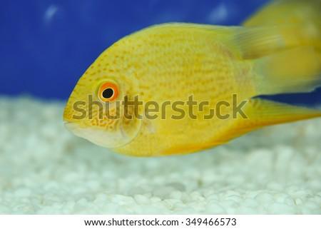 Yellow Damselfish Swimming Marine Aquarium Kerala Stock Photo Edit