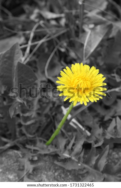 a yellow dandelion with black and white background